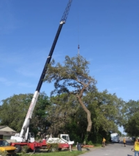 big tree removal tampa fl