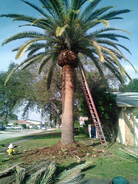 king palm trimming tampa
