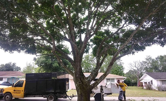 oak tree services removal