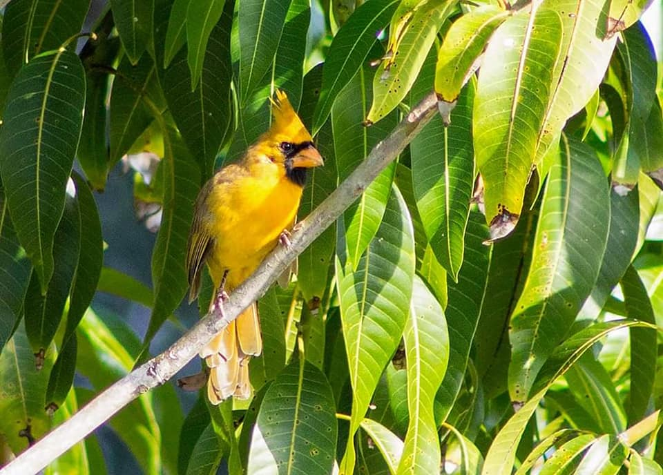 yellow tree cardinal