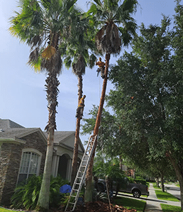 Palm Tree Trimming & Shaving